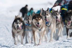 La Grand Odysee Husky sled race les Gets
